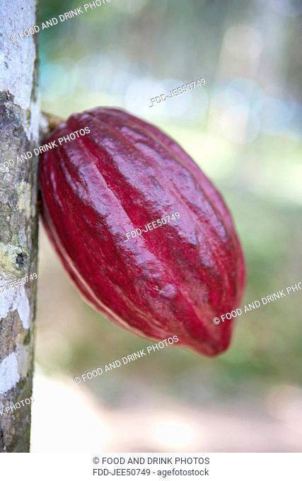 Cocoa pod on a tree