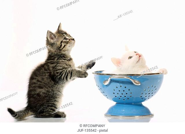 two kittens with colander