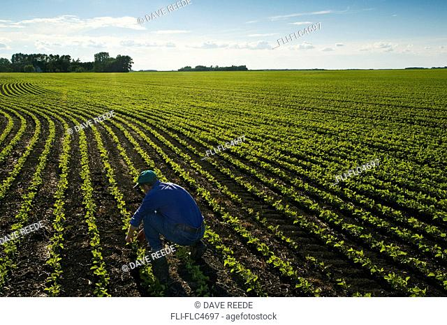 A farmer in his early growth soybean field near Lorette, Manitoba, Canada