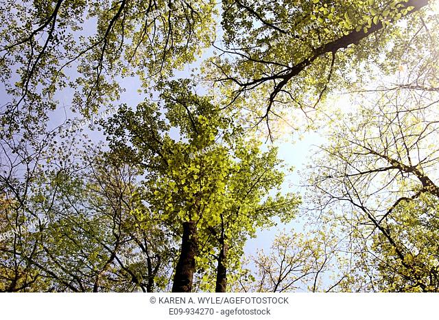 oaks with spring foliage from below, Monroe County, Indiana