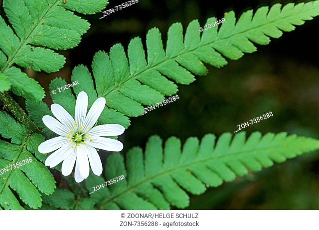 Greater Stitchwort is an important food plant