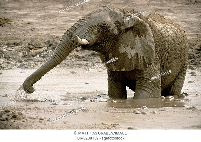 African Bush Elephant (Loxodonta africana), bull, taking a mud bath