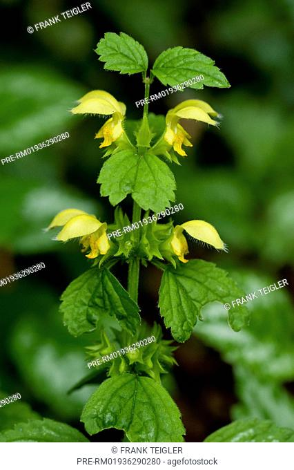 Yellow Archangel, Lamium galeobdolon / Gewöhnliche Goldnessel, Lamium galeobdolon