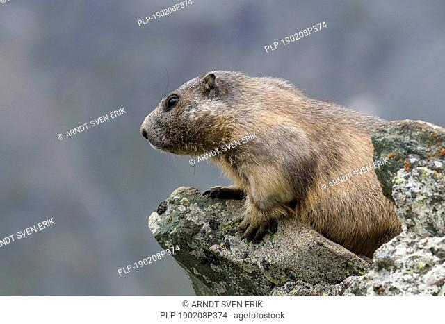 Alpine marmot (Marmota marmota) on the lookout on rock in the Alpine mountains, Hohe Tauern National Park, Carinthia, Austria