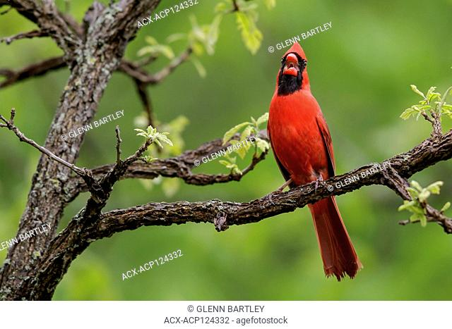 Northern Cardinal (Cardinalis cardinalis) perched on a branch in Southeastern Ontario, Canada