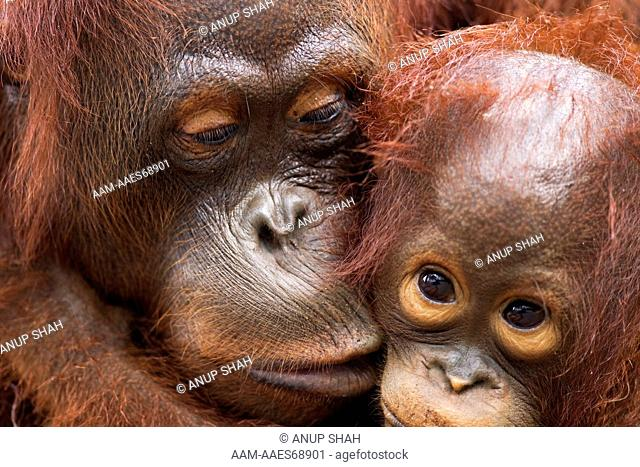 Bornean Orangutan female 'Lady Di' with her son 'La Betty' aged 3 years portrait (Pongo pygmaeus wurmbii). Camp Rasak, Lamandau Nature Reserve