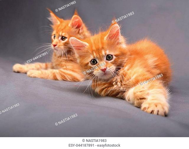 Two adorable playful red solid maine coon kitten lying with beautiful brushes on the ears on grey background. closeup portrait
