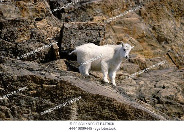 Alberta, Oreamus americanus, animal, animals, Canada, North America, America, cliff, Goat, nanny goat, Jasper, natio