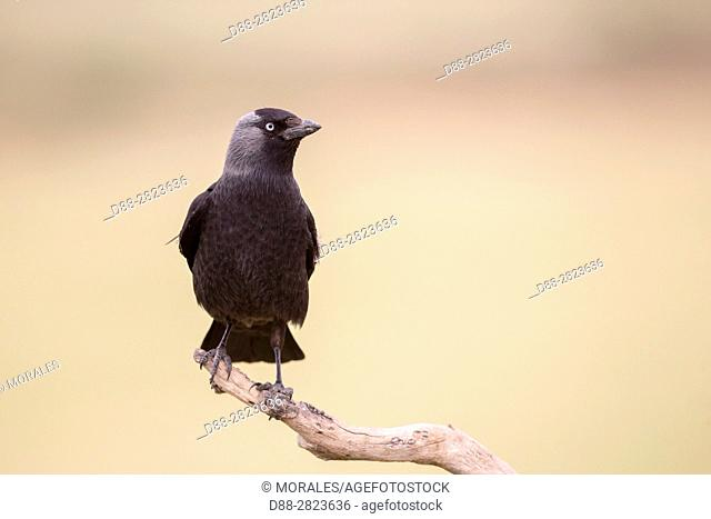 Europe, Spain, Catalogna, Western jackdaw (Corvus monedula), birdon a branch near the artificial cavity of a building entirely constructed for the nesting of...