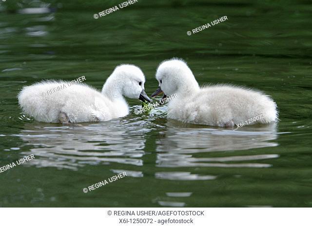 Mute Swan Cygnus olor, two cygnets swimming on lake feeding, Germany
