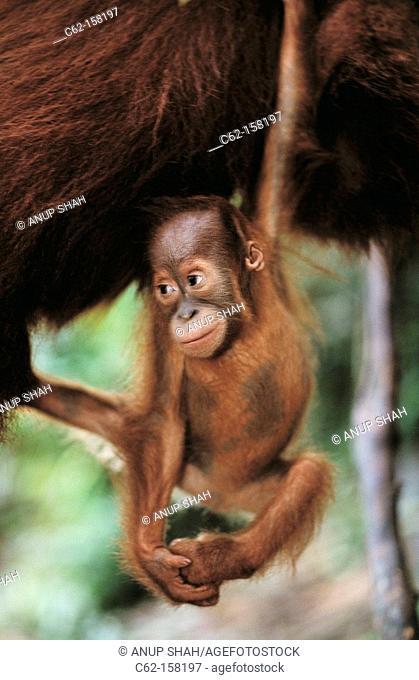 Bornean Orangutan (Pongo pygmaeus), baby. Gunung Leuser National Park, Indonesia