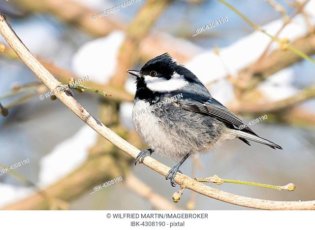 Coal tit (Parus ater) perched on branch, Hesse, Germany