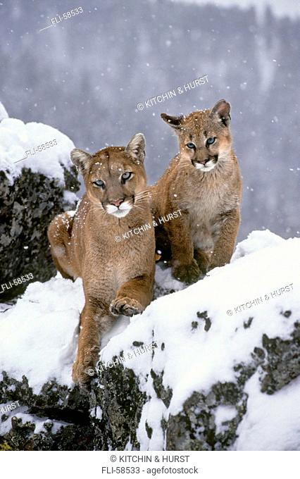 T.Kitchin, TK14983D, Cougar Adult with Young, Winter