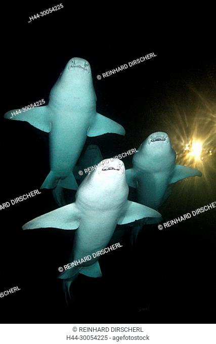 Group of Nurse Shark at Night, Nebrius ferrugineus, Felidhu Atoll, Maldives