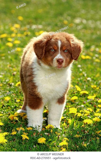 Australian Shepherd, puppy, red-tri, 9 weeks