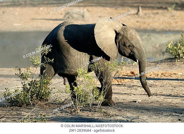 Young Elephant (Loxodonta africana) walking, Talamati Bushveld Camp, Kruger National Park, Transvaal, South Africa