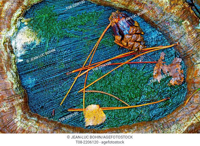 france,yvelines,chevreuse valley,rambouillet forest : pine trunk, autums leaves and needles pine