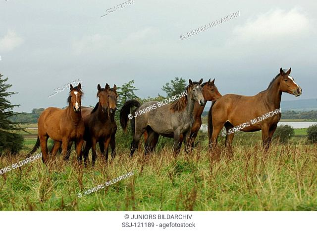 herd of Irish Sport Horses
