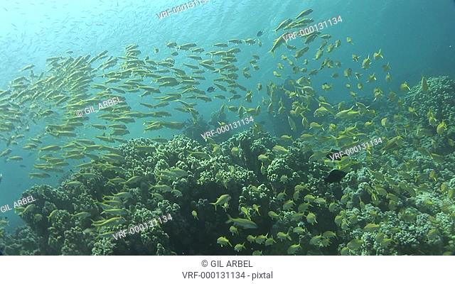 Shoal of fish currently unidentified over coral. Red Sea