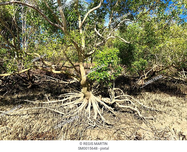 Mangrove at low tide, in the Northern Territory of Australia
