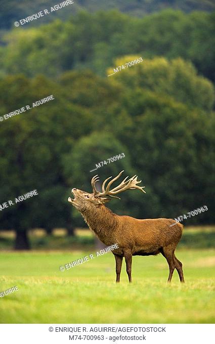 European Red Deer (Cervus elaphus). Rutting stag. Autumn, England