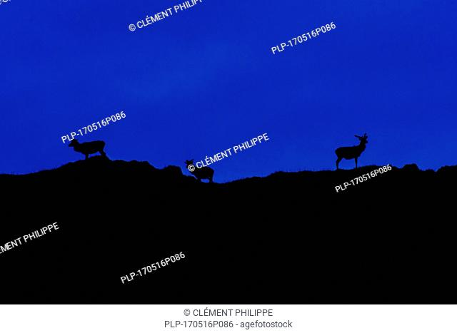 Three red deer stags (Cervus elaphus) silhouetted against night sky on top of hill in the Scottish Highlands, Scotland