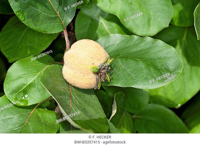 Common quince (Cydonia oblonga), young quince on a tree