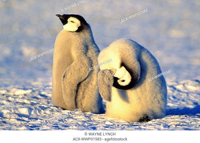 Emperor penguin chick Aptenodytes forsteri preening, Atka Bay colony, 70 Degrees S., Weddell Sea, Antarctica