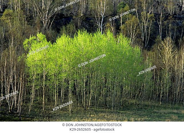 Trembling aspen (Populus tremuloides) Spring foliage, Greater Sudbury, Ontario, Canada