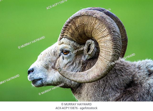 Rocky Mountain Bighorn Sheep (Ovis canadensis) Male Ram portrait, close up, with full curl of horns. Waterton National Park, Alberta, Canada