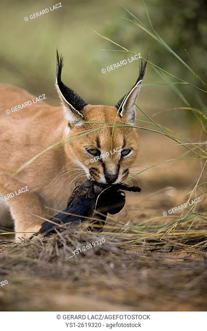 Caracal, caracal caracal, Adult with a Kill, a Cape Glossy Starling, Namibia