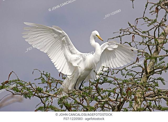 Great Egret Casmerodius albus - Louisiana - USA - Distinguished from most other white herons by large size  L39' W51' - Common in marshes-mangroves swamps-mud...