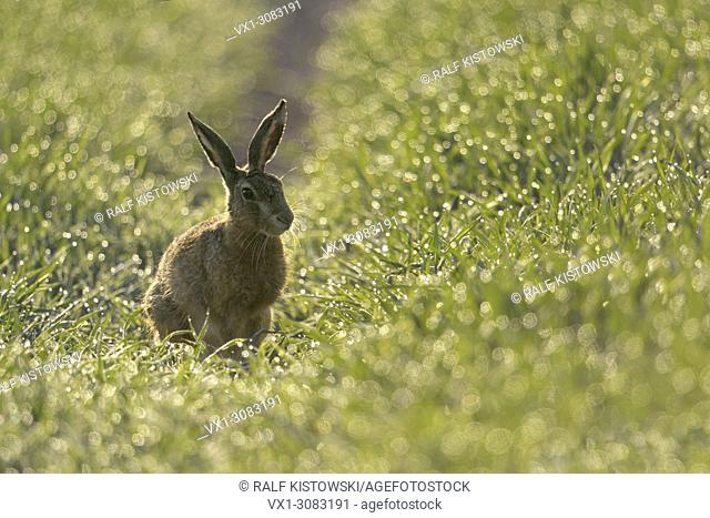 Brown Hare / European Hare ( Lepus europaeus ) sitting in a field of winter wheat, thousands of dewdrops sparkling in first morning light, wildlife, Europe