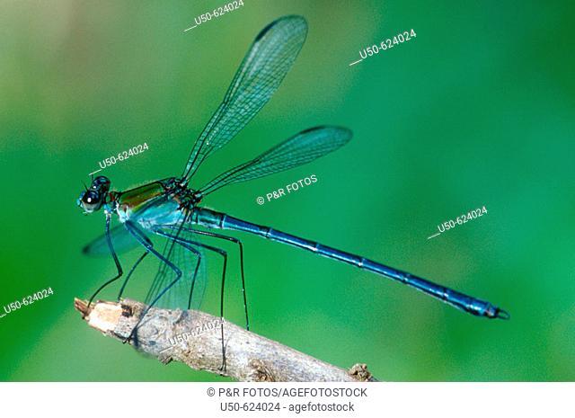 Damselfly, Heliocharis amazona, Dicteriadidae, Odonata, Luís Antônio. Sao Paulo. Brazil