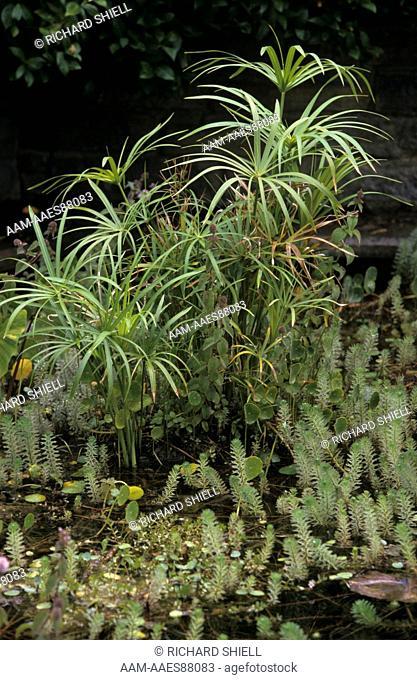 Water Garden with Taro (Colocasia esculenta), Umbrella Plant (Cyperus alternifolius), CA