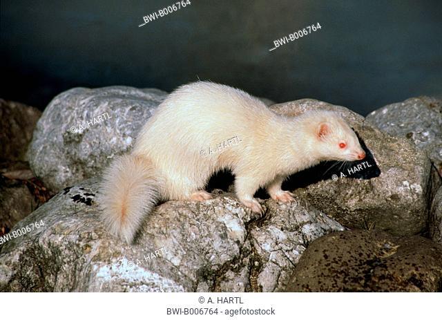 domestic polecat, domestic ferret (Mustela putorius f. furo, Mustela putorius furo), albino, Germany