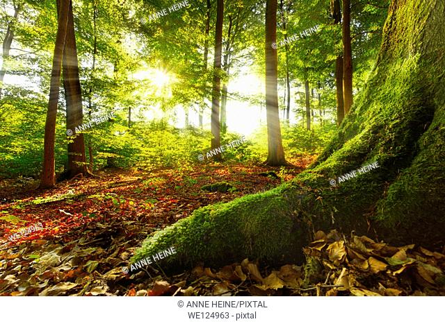 sunrays shining into a beech forest, mossy root in foreground leads into image, location:warstein, sauerland, germany