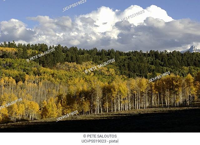 Autumn leaves in aspen forest