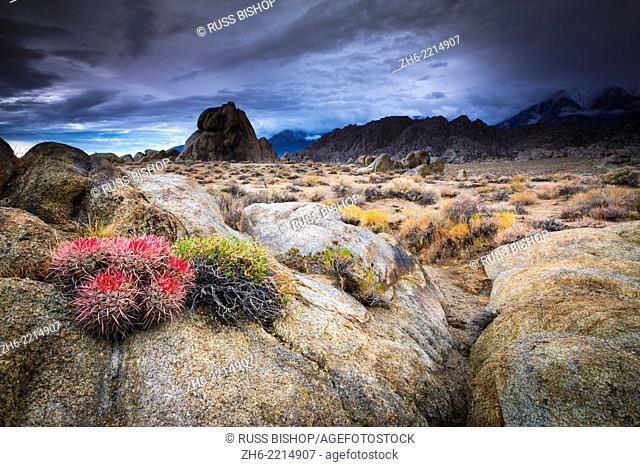 Barrel cactus in the Alabama Hills, Owen's Valley, California USA