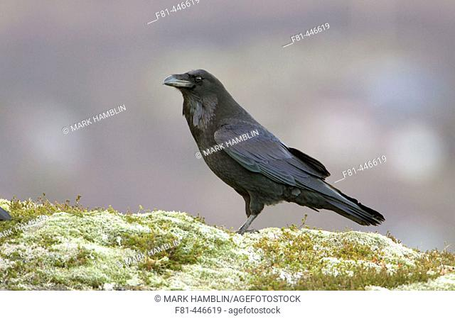 Raven (Corvus corax) perched on ground. Norway