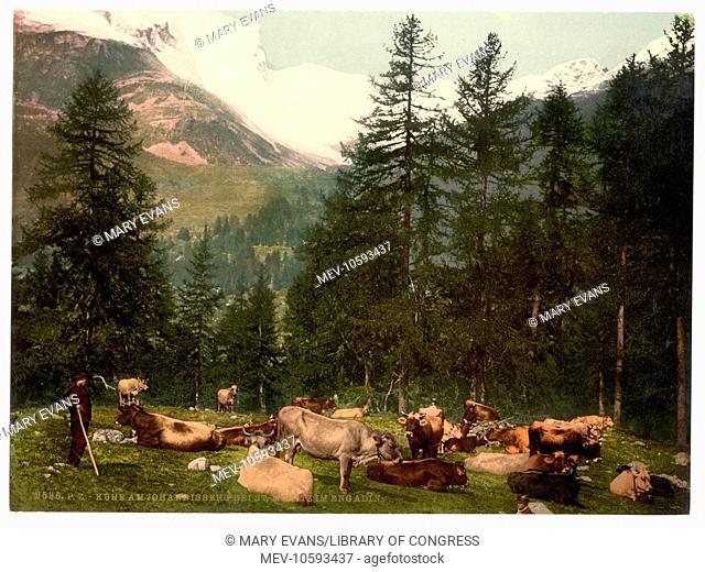 St. Moritz, cows at Johannisberg, Grisons, Switzerland. Date between ca. 1890 and ca. 1900