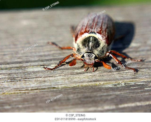 May bug (Scarabaeidae)