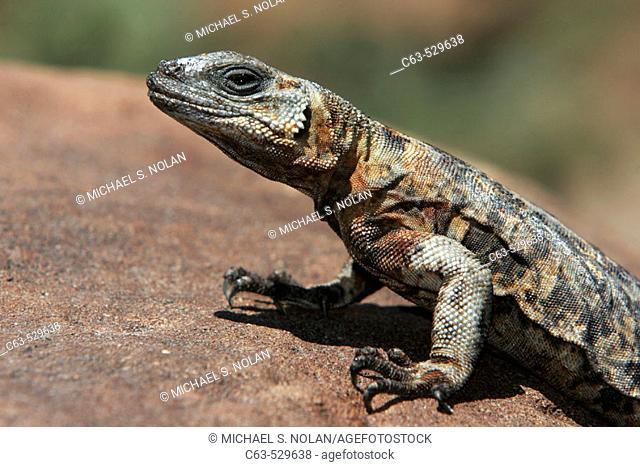 San Esteban Island Chuckwalla (Sauromalus varius) on Isla San Esteban in the Gulf of California (Sea of Cortez), Mexico. This species is endemic to Isla San...