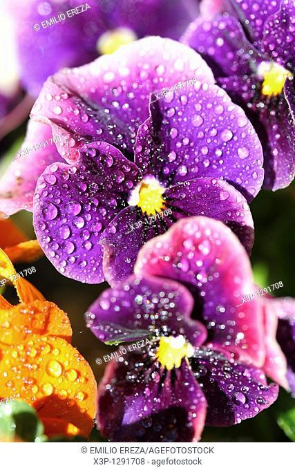 Droplets on pansies flowers Viola tricolor