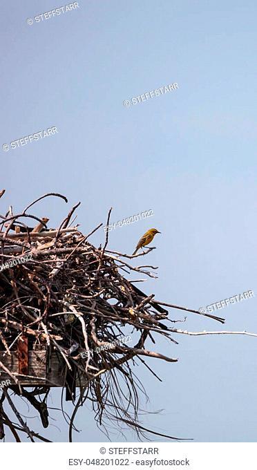 Pine warbler bird Setophaga pinus perches on a big osprey nest over Tigertail Beach on Marco Island, Florida