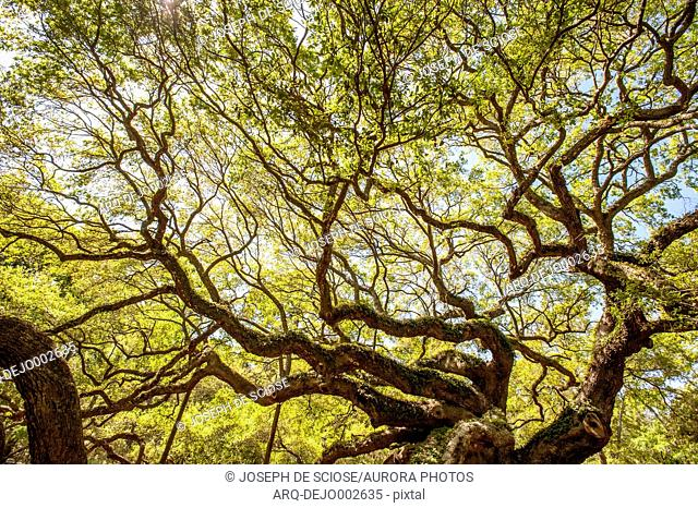 Angel oak tree Stock Photos and Images | age fotostock