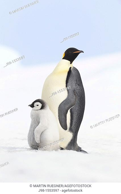 Emperor penguin Aptenodytes forsteri, chick and adult  Location: Snow Hill Island, Antarctic Peninsula, Antarctica