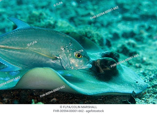 Brassy Trevally (Caranx papuensis) adult, with Blue-spotted Ribbontail Ray (Taeniura lymma) adult, swimming over black sand, Lembeh Straits, Sulawesi