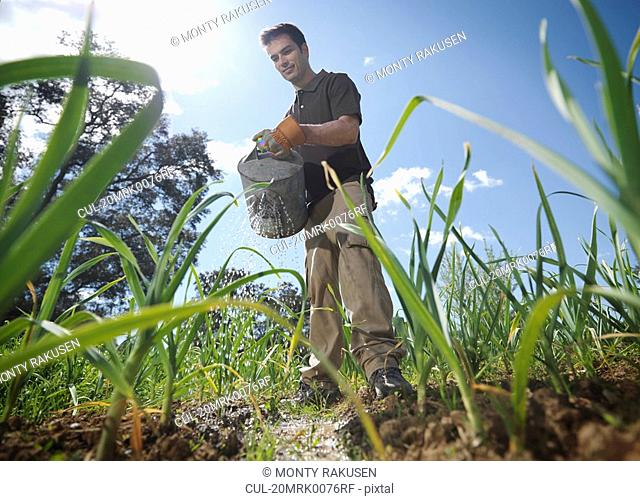 Man with watering can in garlic field