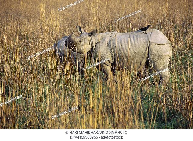 One Horn Rhinoceros Rhinoceros unicornis , Dudhwa national Park , Uttar Pradesh , india